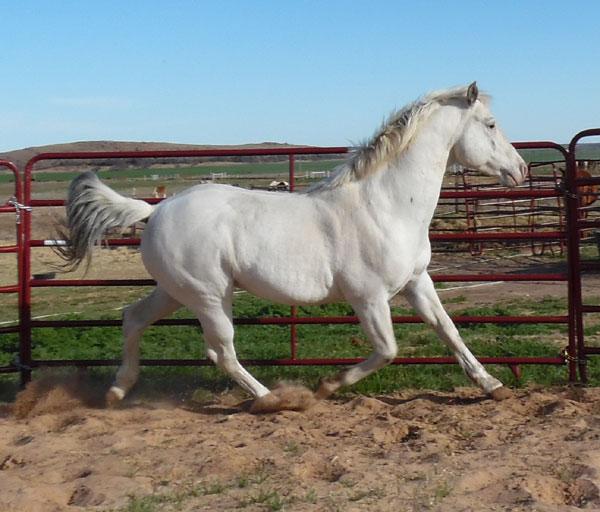 Silverado Rein ApHC stallion
